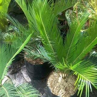 pohon cikas