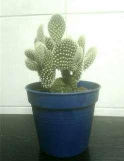 🚚 Bunny Ear Cactus: 10cm Pots available for sales (Nick Name is: Mickey Mouse Shape Cactus)