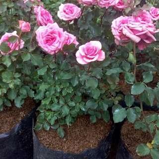 bunga mawar/rose jumbo size pink