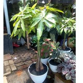 pohon pachira jumbo
