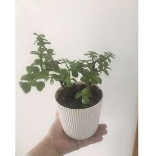 Jade plant with pot