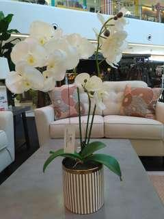 Gold stripe potted orchid, white