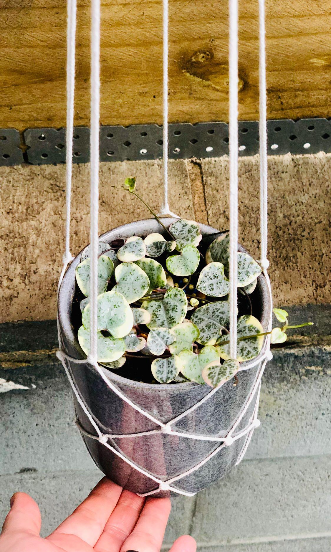 Chain Of Heart/ Indoor Plant/ Ceramic Pot/ Macrame Hanger