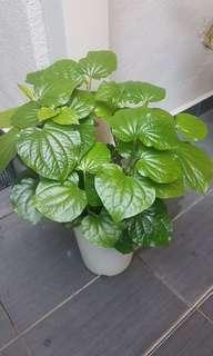 Kaduk plant (home grown)