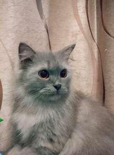 Kucing Persia Medium Terawat Manja
