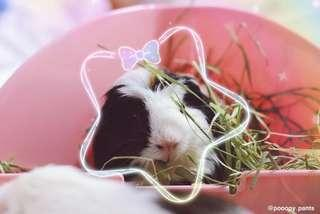 Pampered Guinea Pig Boarding Services!(EAST!)