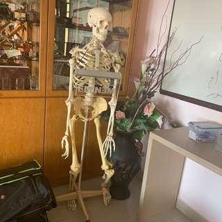 🚚 Life Sized Skeleton Figurine