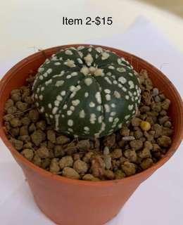 🚚 Astrophytum Superkabuto