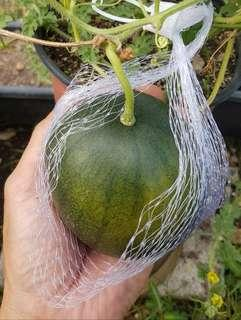 Dwarf Mini Green Watermelon x 2 Seedlings set at $10
