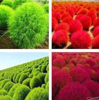 Mix Colour Kochia Scoparia Ornamental Grass Seeds
