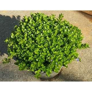 Bacopa (Blue Flower)