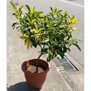 Fagraea ceilanica Variegated (No. 4 Pot)