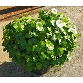 Gotu Kola (Round Leaves)