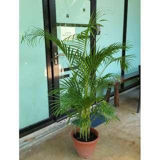 Yellow Palm (No. 3 Pot)
