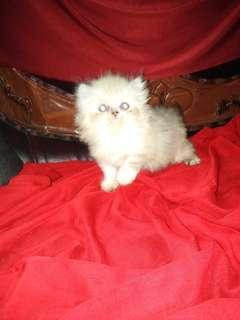Ready for boked kitten persia ragdoll betina
