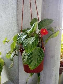 1 Pot Hanging Begonia