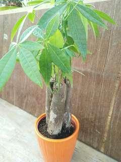 🚚 發財樹3吋-綠能園藝