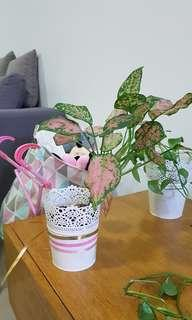 Colorful Aglaonema real plant indoor with pot