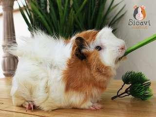Guinea Pig Abbyruvian Marmut