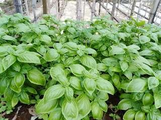 Fresh Sweet Basil (Harvested upon request)