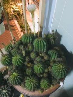 🚚 Cactus Big