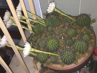 🚚 Flowering Cactus