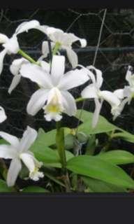 Cattleya harrisoniana var. alba (orchid)