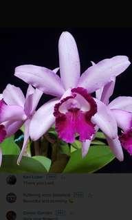 Cattleya intermedia var olata 'rio' bare root (orchid)