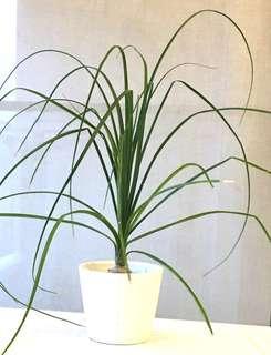Plant - Beaucarnea Recurvata Ponytail Palm