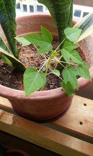 Baby Hong Kong Papaya plant (tree)