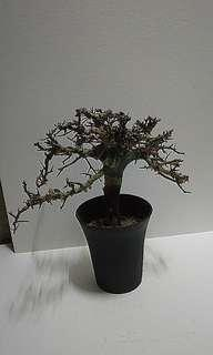Commiphora holtziana 沒葯橄欖 非洲原生入囗 多肉植物 塊根