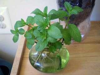 🚚 Mint cuttings