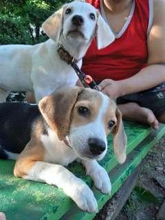 Jual beagle ras murni. Non Stambum. Udah vaksin 2 kali. Usia 5 Bulan. Jantan dan Betina