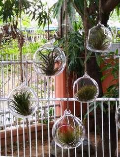 Airplants with holders
