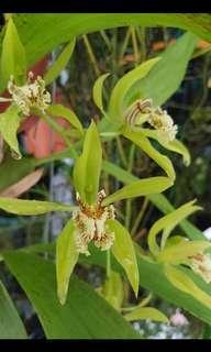 Coelogyne peltastes (orchid)