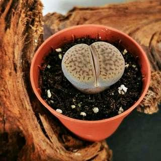 Lithops succulent