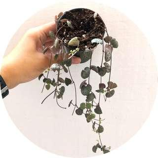 🚚 Ceropegia woodii (String of Hearts)