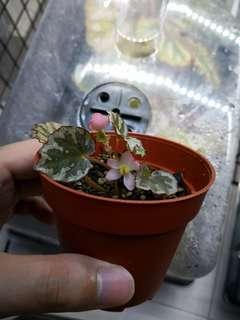 Begonia Iran Jaya