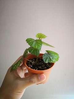 🚚 Begonia Madaiensis