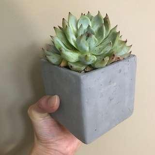 Succulent- Echeveria