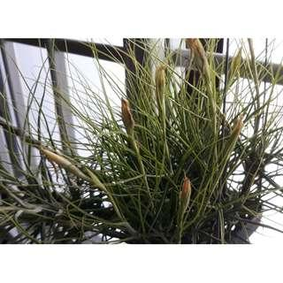Tillandsia Shiedeana Young Plants (Pic 3 & 4) To Let Go From $5-10 Each.