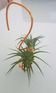 Two Tillandsia Ionantha pups with hanging aluminium support holder