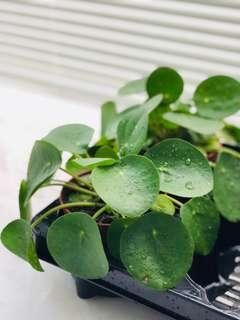 Pilea Peperomioides plant limited stock