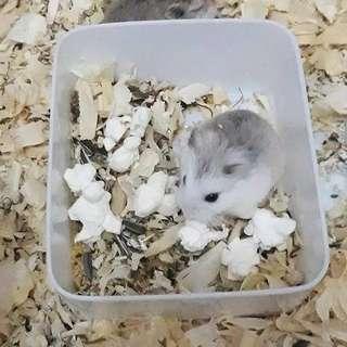 Hamster roborovski husky /wf/white face