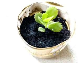 1 Pot of Live Succulent Plant Mother of Thousand in Recycled Small Plastic Spray Painted Gold Colour #1