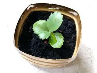 1 pot Live Succulent Plant Mother of Thousand in recycled small plastic spray painted in gold colour #2