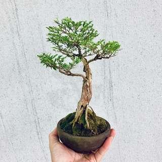 🚚 Shohin Pyllanthus Bonsai