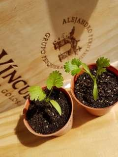 Coriander Seedlings (Temp Unavailable)
