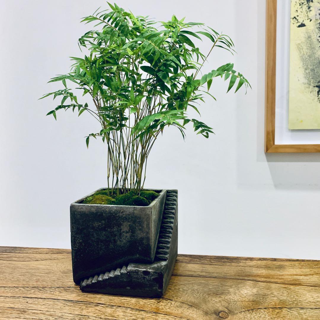 Dwarf Bamboo Bonsai