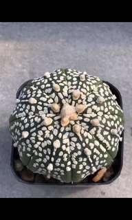Astrophytum Superkabuto